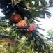 矮化短把樱桃苗哪里便宜、矮化短把樱桃苗价格多少