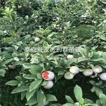 糖心隻果苗(miao)銷售價格(ge)圖(tu)片(pian)