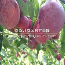 嫁接梨树苗哪里有卖、嫁接梨树苗价格多少图片