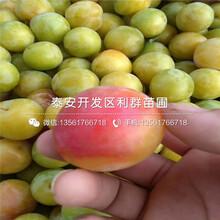 2019年珍珠油杏树苗出售图片