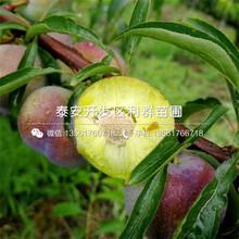 神富一号苹果苗价格行情图片