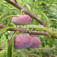 2019年红富士苹果树苗价格、红富士苹果树苗价格图片