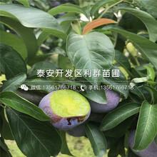 红香椿苗价格、2019年红香椿苗出售图片