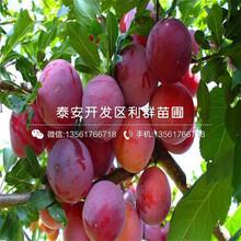 矮化車厘(li)子大櫻桃(tao)樹苗(miao)出(chu)售價格(ge)、2019年矮化車厘(li)子大櫻桃(tao)樹苗(miao)報價圖(tu)片(pian)
