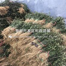 新品种6公分梨苗价格图片
