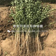 山東新品種藍莓苗批發、山東新品種藍莓苗多少錢一棵圖片