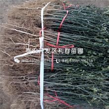 山東處暑紅板栗樹苗品種、山東處暑紅板栗樹苗多少錢一棵圖片