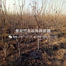 矮化车厘子樱桃树苗新品种图片