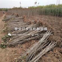 矮化砂蜜豆樱桃苗出售基地图片