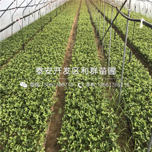 新品种矮化新品种樱桃树苗出售图片