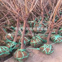 八仙红大樱桃树苗报价及价格图片
