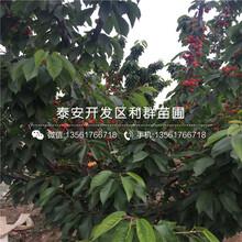 砂蜜豆大樱桃树苗出售、2019年砂蜜豆大樱桃树苗价格图片