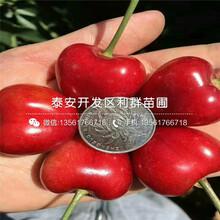 秦林樱桃树苗图片、秦林樱桃树苗什么价格图片