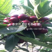 矮化朱砂红大樱桃苗什么价位图片