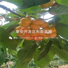山东朱砂红樱桃树苗、朱砂红樱桃树苗报价图片