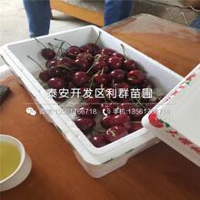 矮化红妃樱桃苗价钱图片