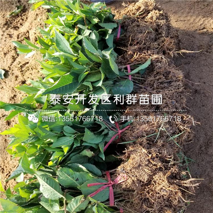 2公分矮化紅妃大櫻桃樹苗、2公分矮化紅妃大櫻桃樹苗多少錢一棵