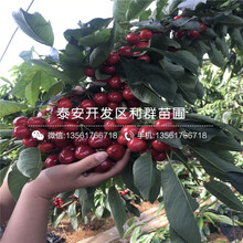 山東矮化吉塞拉7號砧木大櫻桃樹苗、山東矮化吉塞拉7號砧木大櫻桃樹苗價格是多少圖片