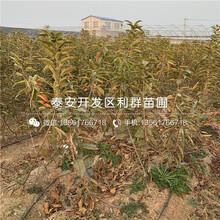 明珠大櫻桃苗價格行情圖片