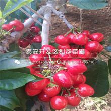 矮化大櫻桃樹苗批發價格多少圖片