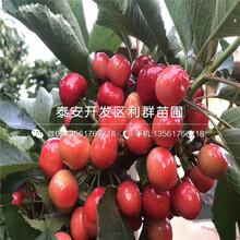 新品種短把大櫻桃樹苗、短把大櫻桃樹苗多少錢一棵圖片