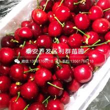 9公分大櫻桃苗、9公分大櫻桃苗價格及報價圖片
