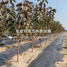 山東矮化出售櫻桃樹苗、山東矮化出售櫻桃樹苗出售價格圖片