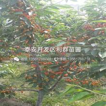 5公分矮化吉塞拉砧木大櫻桃樹苗、5公分矮化吉塞拉砧木大櫻桃樹苗多少錢一棵圖片