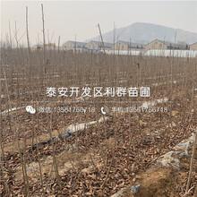 新品種矮化冰糖脆大櫻桃樹苗價格圖片