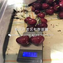 毛大櫻桃樹苗多少錢、2019年毛大櫻桃樹苗多少錢圖片