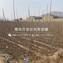 新品種吉塞拉根系櫻桃樹苗、新品種吉塞拉根系櫻桃樹苗多少錢一棵圖片