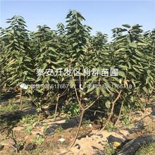 矮化瑪瑙紅大櫻桃苗種植技術、矮化瑪瑙紅大櫻桃苗多少錢一棵圖片