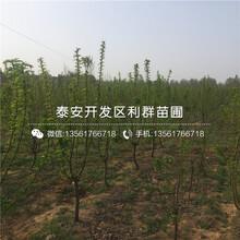 附件哪里有含香櫻桃樹苗出售、今年含香櫻桃樹苗價格是多少圖片