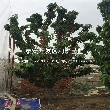 山东矮化玛瑙红樱桃树苗价格、山东矮化玛瑙红樱桃树苗出售图片