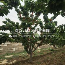 山東麗珠櫻桃苗、山東麗珠櫻桃苗價格是多少圖片