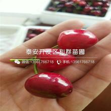 特早紅大櫻桃樹苗批發、特早紅大櫻桃樹苗多少錢一棵圖片