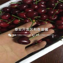 山東矮化吉塞拉7號大櫻桃苗出售價格、山東矮化吉塞拉7號大櫻桃苗多少錢一棵圖片