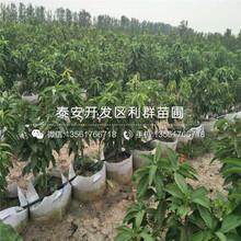 2公分櫻桃樹苗批發價格多少圖片