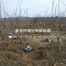 4公分櫻桃苗批發價格是多少圖片