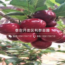 矮化龍冠櫻桃苗批發價格、2019年矮化龍冠櫻桃苗報價圖片