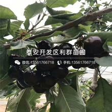 山東烏克蘭20號櫻桃樹苗銷售價格圖片