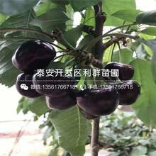2019年蘭丁2號櫻桃苗報價圖片