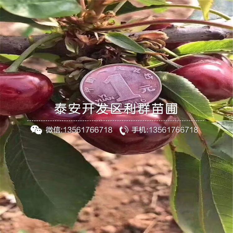 2019年吉塞拉6號大櫻桃樹苗多少錢一棵