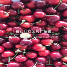 矮化抉擇櫻桃樹苗、矮化抉擇櫻桃樹苗價格及報價圖片
