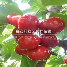 今年矮化佳紅櫻桃樹苗價格是多少圖片