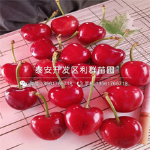 矮化紅燈櫻桃樹苗圖片、矮化紅燈櫻桃樹苗什么價格圖片