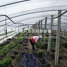 矮化1公分大櫻桃樹苗批發價格、2019年矮化1公分大櫻桃樹苗多少錢一棵圖片