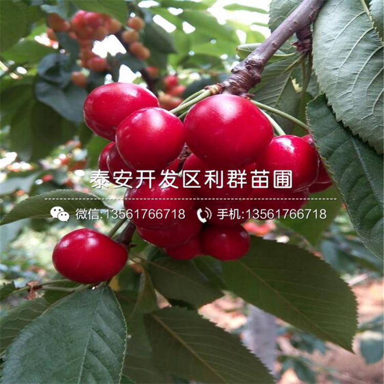 地脊东方乌克兰樱桃树苗、乌克兰樱桃树苗标价