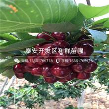 2019年吉塞拉6號大櫻桃樹苗多少錢一棵圖片