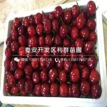 2公分櫻桃苗、2公分櫻桃苗價格是多少圖片